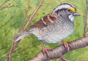 White-throated Sparrow (detail from 7x10 inch Transparent Watercolor)