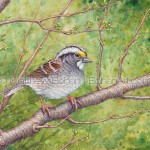 Male White-throated Sparrow Painting: Transparent Watercolor & Time-lapse Video