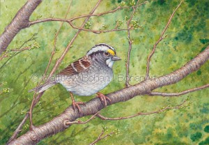 White-throated Sparrow (7x10 inch Transparent Watercolor)