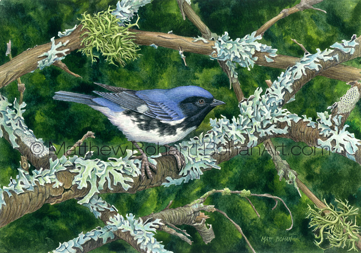 Black-throated Blue Warbler, Furrowed Shield Lichens and Limp-tufted Lichen (Transparent Watercolor on W&N 140lb NCP Paper about 10 x 7 in) Original available