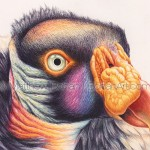 King Vulture 7×10-inch Transparent Watercolor Painting and Time-lapse Video