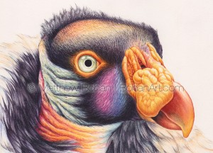 King Vulture 4.5 x 6 inch detail (from 7x10 inch transparent Watercolor on Arches 140lb HP Paper)