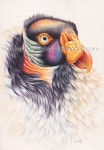 King Vulture (7x10 inch transparent Watercolor on Arches 140lb HP Paper)
