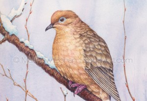 Mourning Dove (7x10 inch Transparent Watercolor Painting)