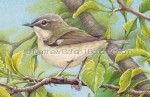 Female Black-throated Blue Warbler Transparent Watercolor Detail ( 7x10 on Arches 140lb HP Paper)