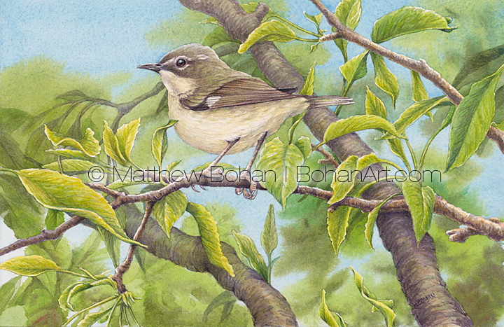 Female Black-throated Blue Warbler Transparent Watercolor ( 7x10 on Arches 140lb HP Paper)
