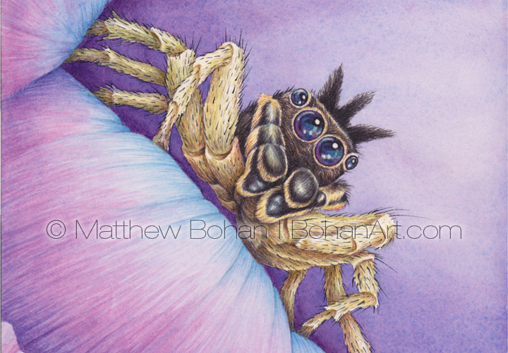 Male Dark Phase Dimorphic Jumping Spider (4.5 x 3 in ch detail from 7x10 in Watercolor)