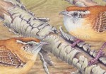 Carolina Wrens (3.5 x5 inch detail from 7x10 in Transparent Watercolor original)