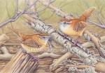 Carolina Wrens (7x10 in Transparent Watercolor on Arches 140lb HP Paper)