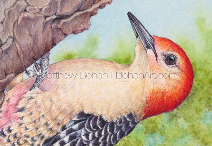 Red-bellied Woodpecker (detail) 7x10 inch Transparent Watercolor
