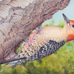 Red-bellied Woodpecker Transparent Watercolor and Time Lapse Video