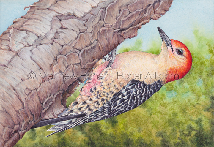 Red-bellied Woodpecker 7x10 inch Transparent Watercolor