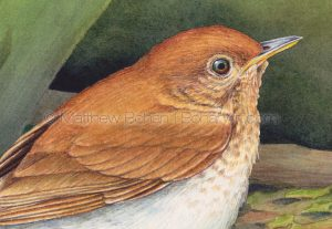Veery (detail from 7x10 inch Transparent Watercolor on Arches 140lb HP paper)
