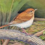 Veery Transparent Watercolor & Time-Lapse Video