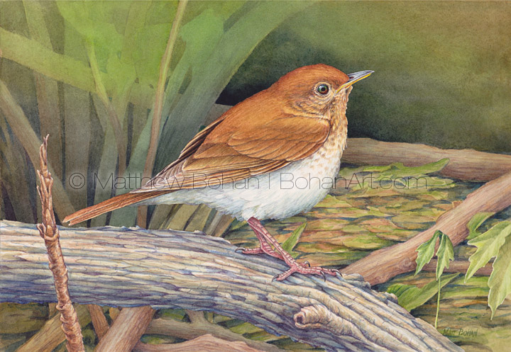 Veery (7x10 inch Transparent Watercolor on Arches 140lb HP paper)