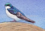 Tree Swallow (detail from 10x7 inch Transparent Watercolor on Arches 140lb HP paper)