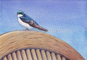 Tree Swallow (10x7 inch Transparent Watercolor on Arches 140lb HP paper)