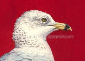 Ring-billed Gull (2.5 x 3.5-inch detail from 18 x 24-inch watercolor)