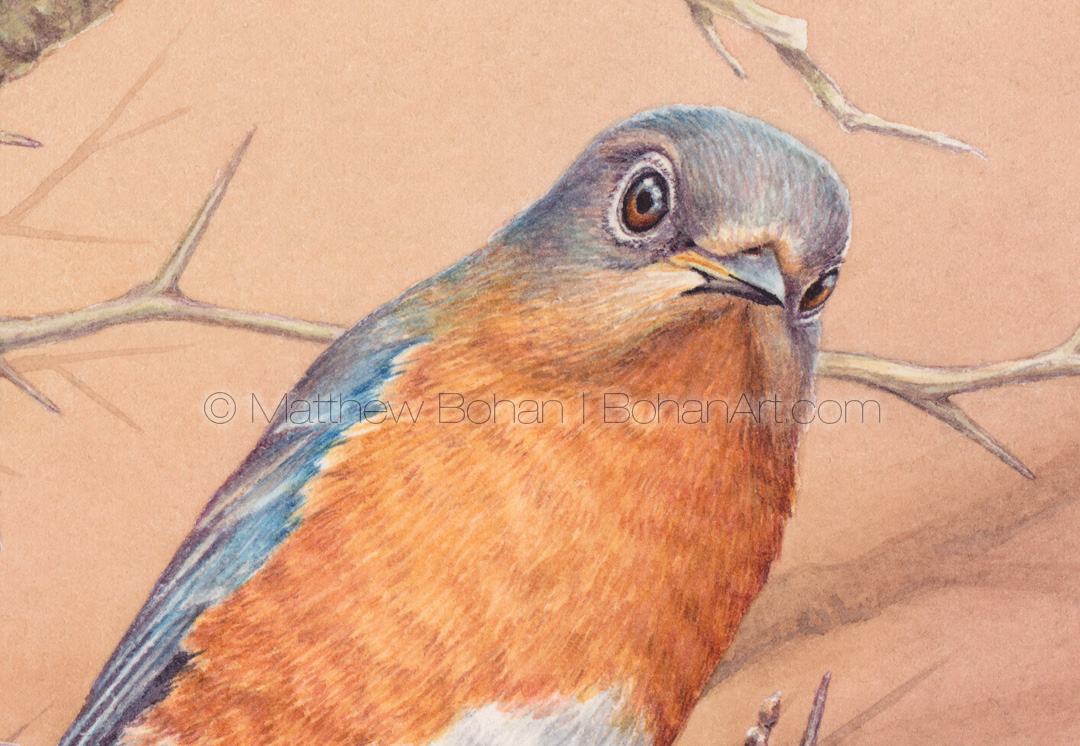 Female Eastern Bluebird on Hawthorn (4.5x3 inch detail from 7x10 inch transparent watercolor)