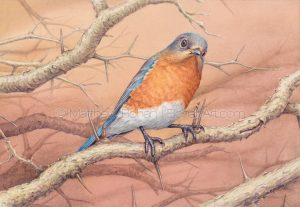 Female Eastern Bluebird on Hawthorn (7x10 inch transparent watercolor on Arches 140lb HP paper)