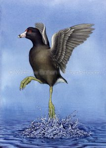 American Coot Taking Flight (10x14 inch Transparent Watercolor on W&N 140 lb NCP Paper)