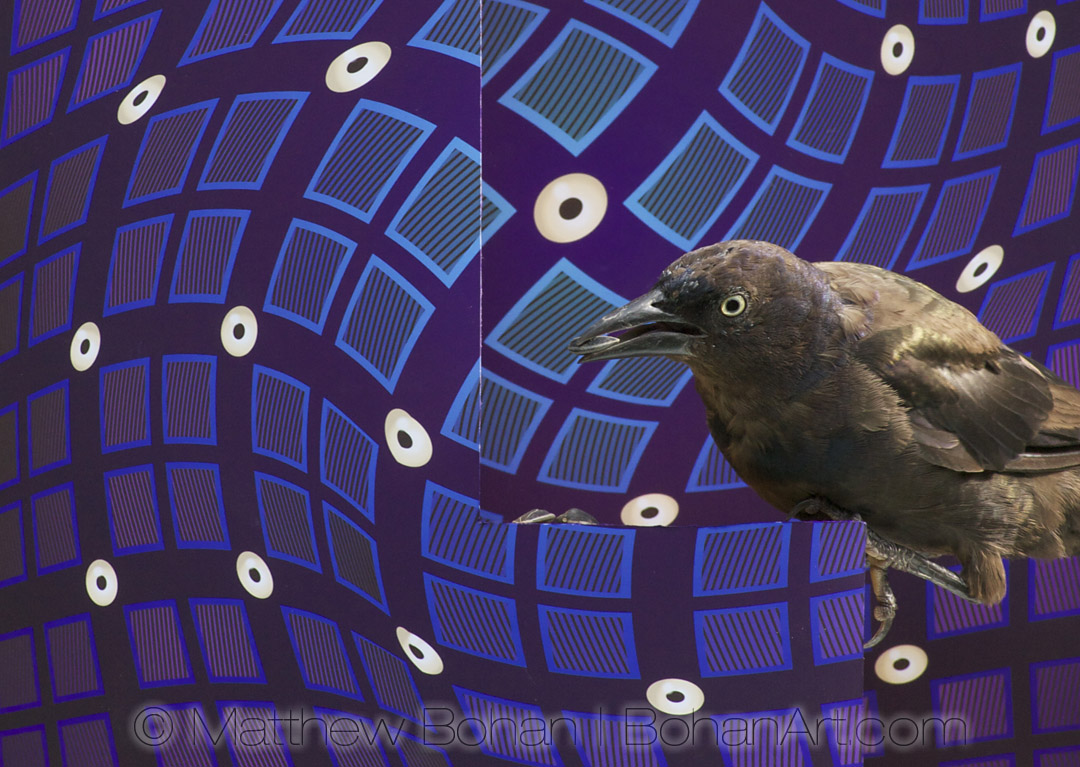 Common Grackle, Canon 40D, 70-200mm f2.8 lens (No Photoshop)