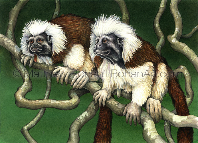 Cotton-top Tamarin (1x14 inch Transparent Watercolor on Winsor and Newton 140lb NCP Paper)